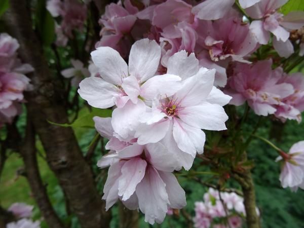joli mois de mai, le jardin fait à son gré - Page 3 Prunus13
