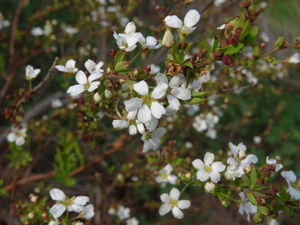 avril, jardin fébrile - Page 4 Spirye10