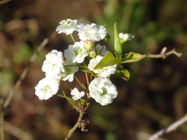 joli mois de mai, le jardin fait à son gré Spirye11