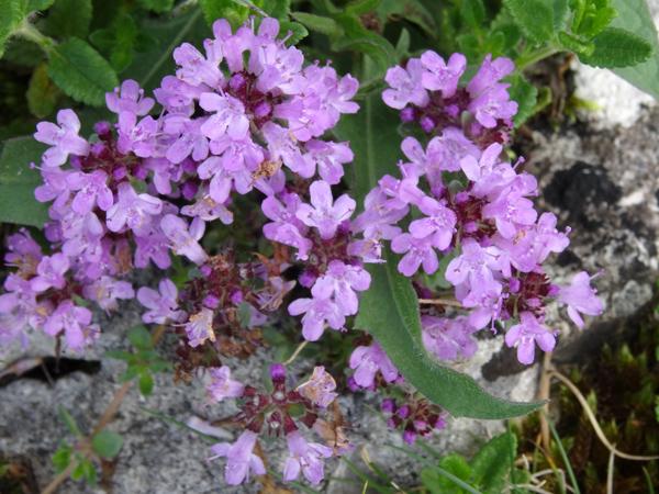Thymus praecox - thym précoce Thymus10