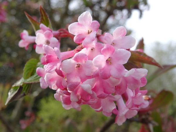 avril, jardin fébrile - Page 4 Viburn10