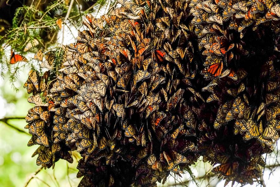 superbes papillons! - Page 2 Mexiqu10
