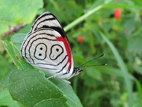 superbes papillons! Rare-b10