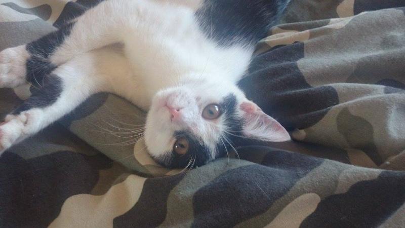 MACHA, très belle chatte junior de 8 mois, noire et blanche - Page 2 11418610