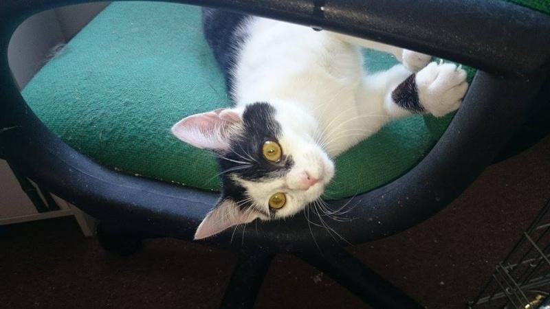MACHA, très belle chatte junior de 8 mois, noire et blanche - Page 2 13020310