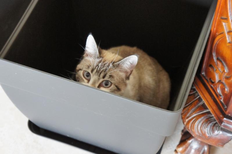 Laïka jeune chatte typée siamoise, gestante, à la rue - Page 3 Dsc07711