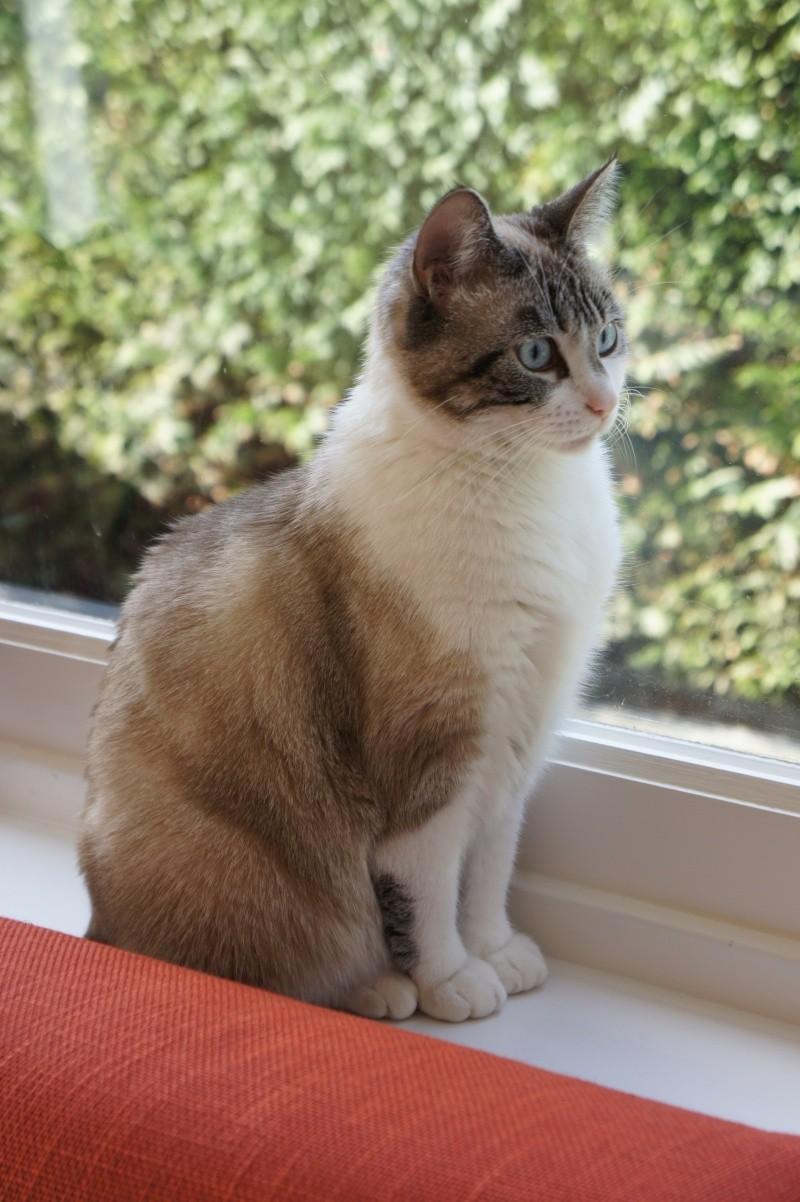 Laïka jeune chatte typée siamoise, gestante, à la rue - Page 3 Dsc07712