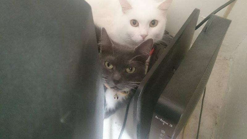 KAIRA, très belle chatte de 2 ans typée chartreuse et blanche Kaira110