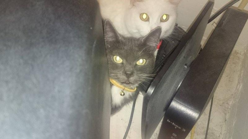 KAIRA, très belle chatte de 2 ans typée chartreuse et blanche Kaira210