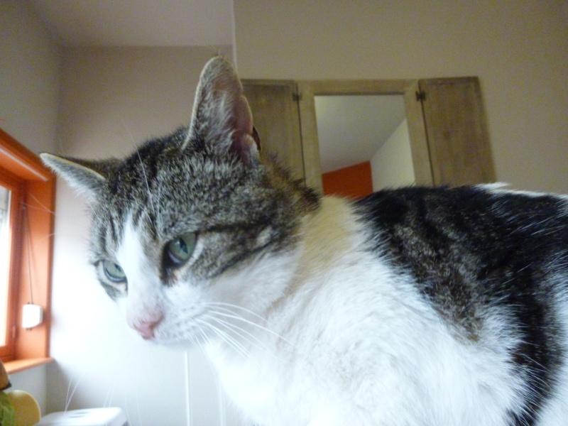 TAIS, adorable chat mâle de 14 mois blanc et tigré et noir P1030118
