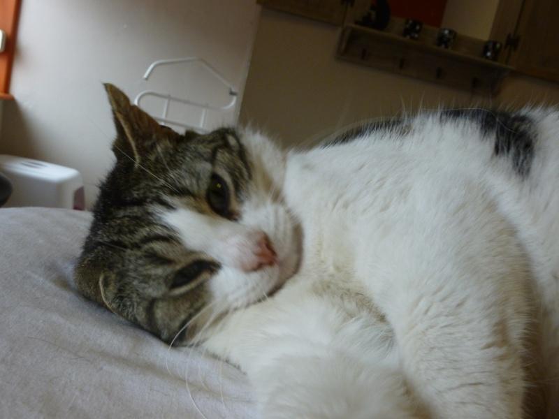 TAIS, adorable chat mâle de 14 mois blanc et tigré et noir P1030120