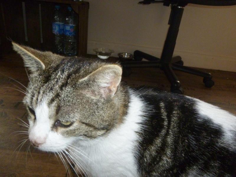 TAIS, adorable chat mâle de 14 mois blanc et tigré et noir P1030122
