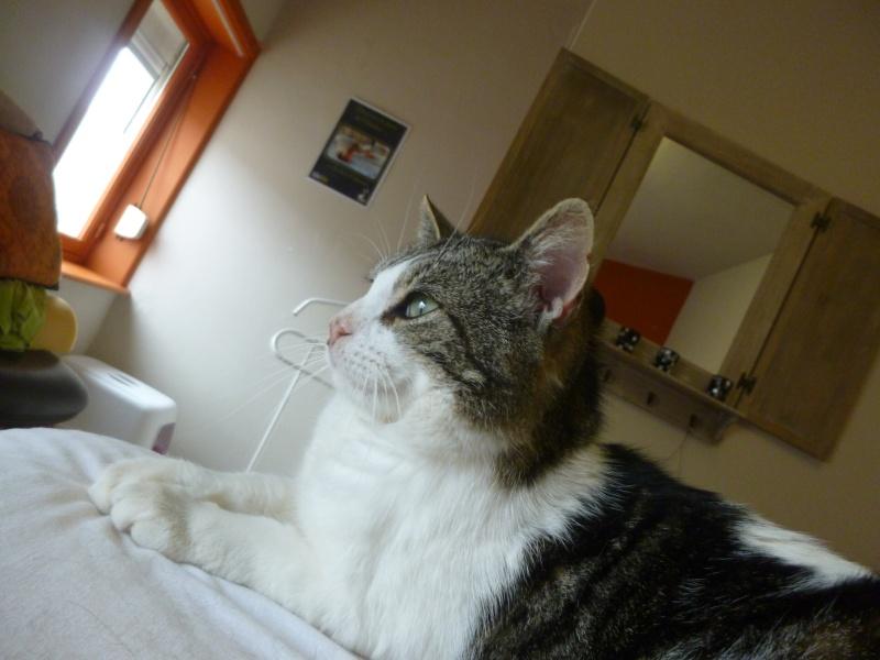 TAIS, adorable chat mâle de 14 mois blanc et tigré et noir P1030123