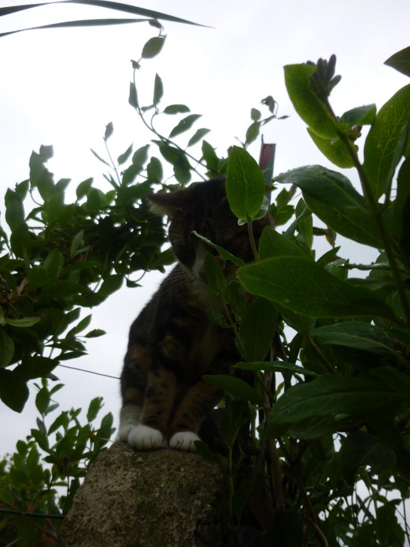 SIENNA, jolie petite chatte marbrée de  P1030146