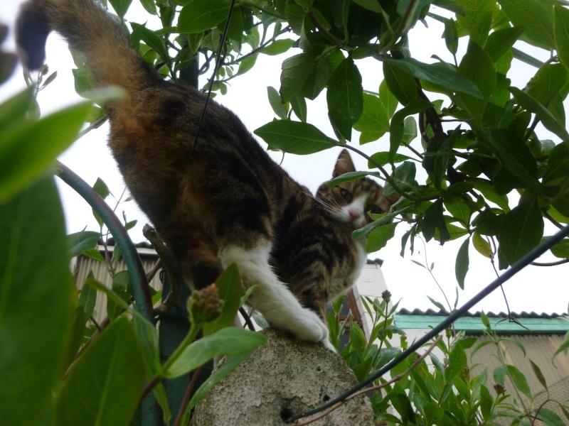 SIENNA, jolie petite chatte marbrée de  P1030147