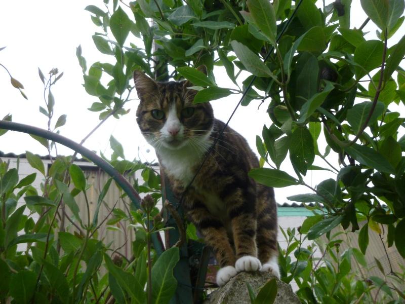 SIENNA, jolie petite chatte marbrée de  P1030149