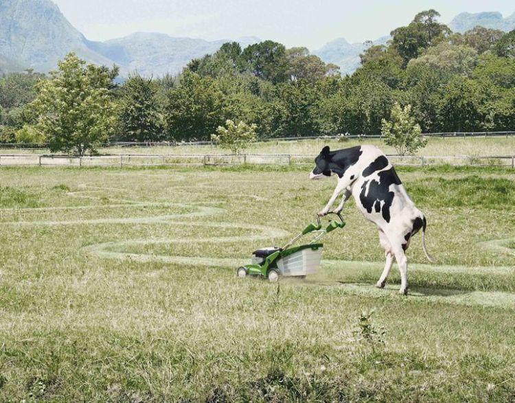 Action de saison Vache-10