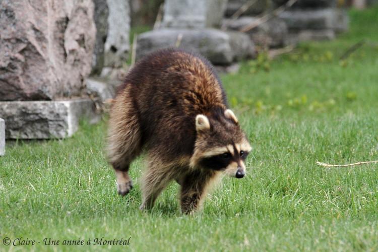 Par un bel après midi de mai... (une histoire de raton laveur et de marmotte) Img_6610