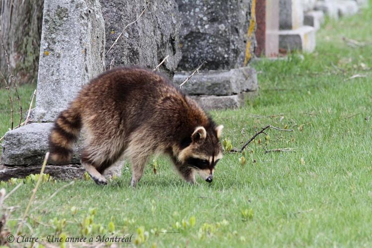 Par un bel après midi de mai... (une histoire de raton laveur et de marmotte) Img_6611