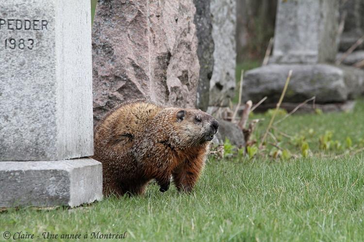 Par un bel après midi de mai... (une histoire de raton laveur et de marmotte) Img_6612