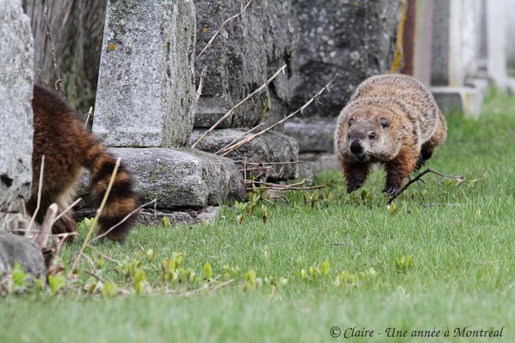 Par un bel après midi de mai... (une histoire de raton laveur et de marmotte) Img_6613