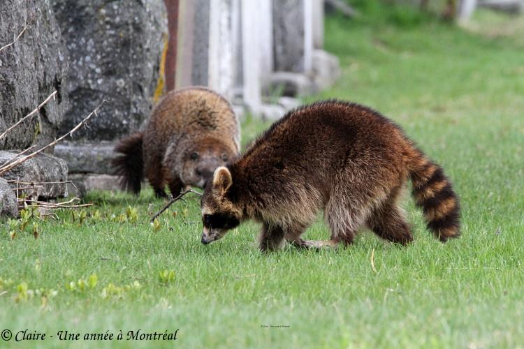 Par un bel après midi de mai... (une histoire de raton laveur et de marmotte) Img_6614