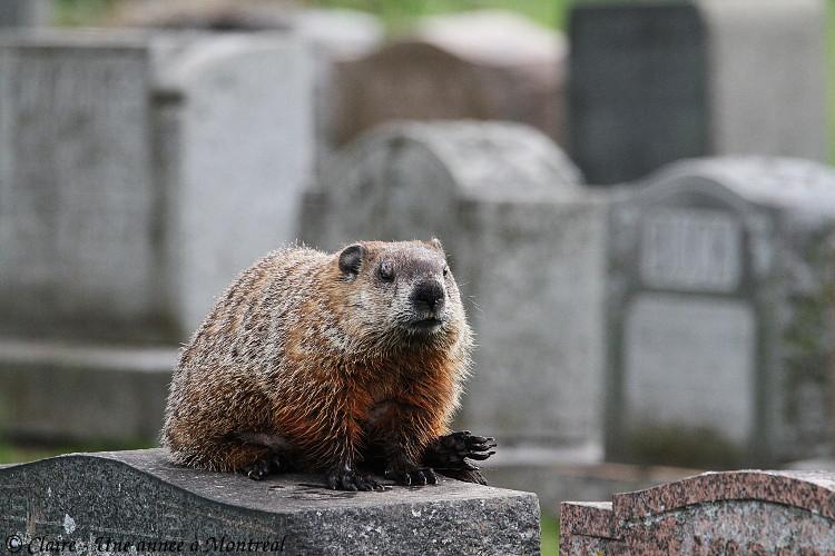 Par un bel après midi de mai... (une histoire de raton laveur et de marmotte) Img_6616