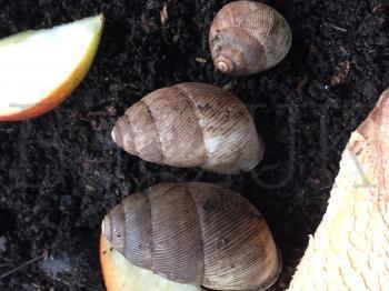 Streptaxidae : Edentulina sp. du cameroun Bugzuk12