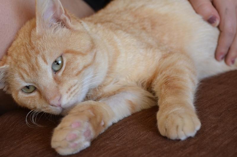 Ragnar, mâle européen crème/roux estimé né 01/01/2011 Dsc_0611