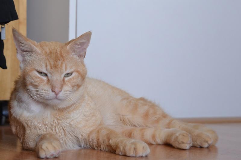 Ragnar, mâle européen crème/roux estimé né 01/01/2011 Dsc_0618