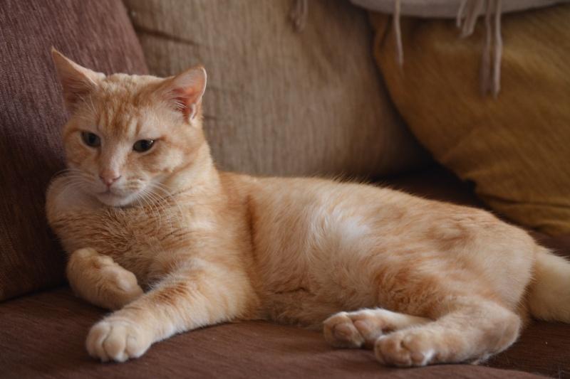 Ragnar, mâle européen crème/roux estimé né 01/01/2011 Dsc_0621