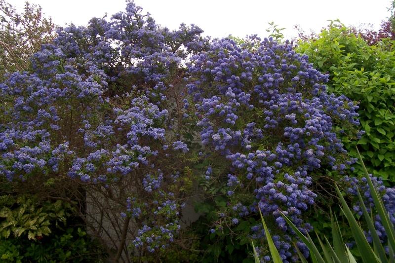 joli mois de mai, le jardin fait à son gré - Page 2 100_7810