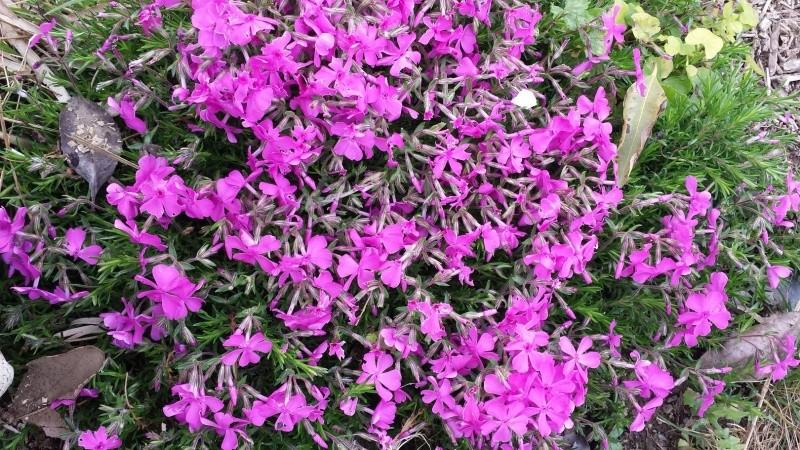 joli mois de mai, le jardin fait à son gré - Page 3 20160513