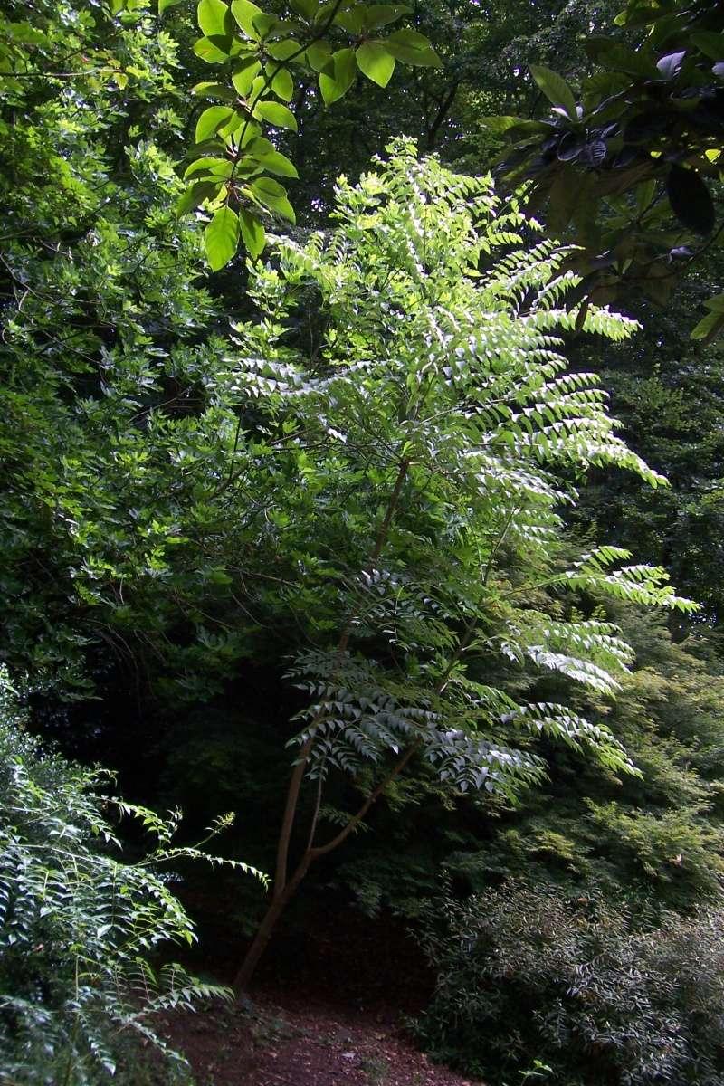 Aralia undulata Aralia10