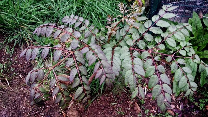 Aralia undulata Aralia12
