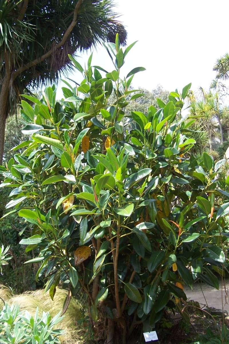 Ficus elastica - caoutchouc Ficus_10