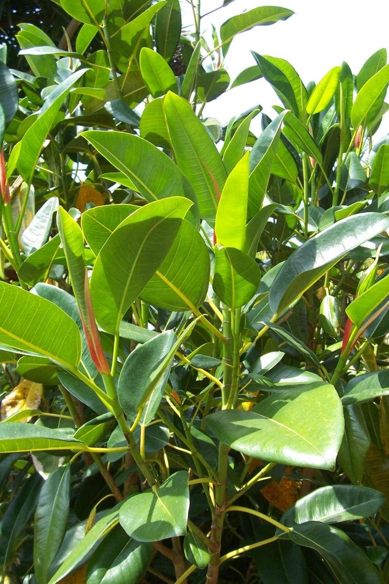 Ficus elastica - caoutchouc Ficus_11