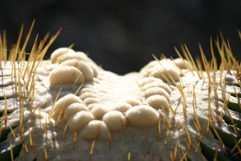 Echinocactus platyacanthus 20_04_15