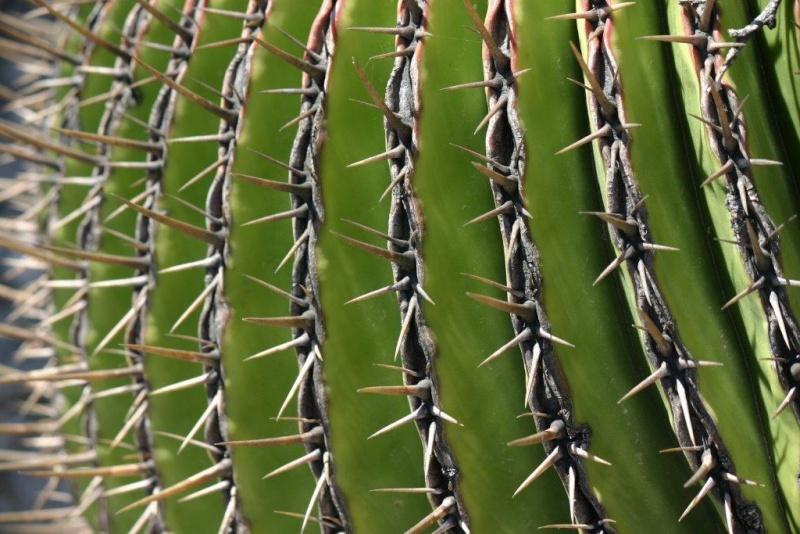 Echinocactus platyacanthus 20_04_17