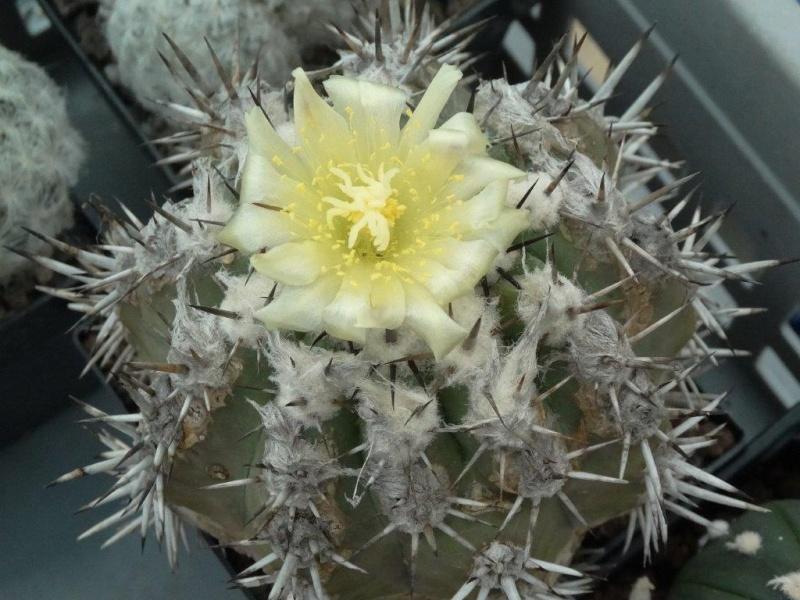 Copiapoa echinoides Dsc03419