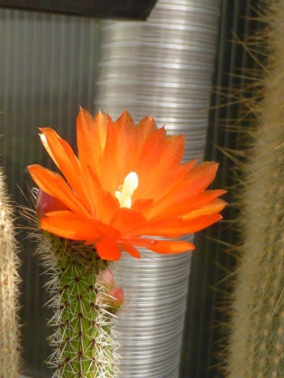 Corryocactus erectus P1130642