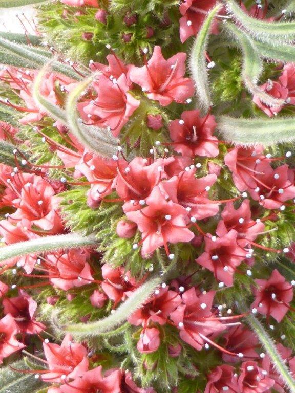 Echium wildpretii - Seite 6 P1140119