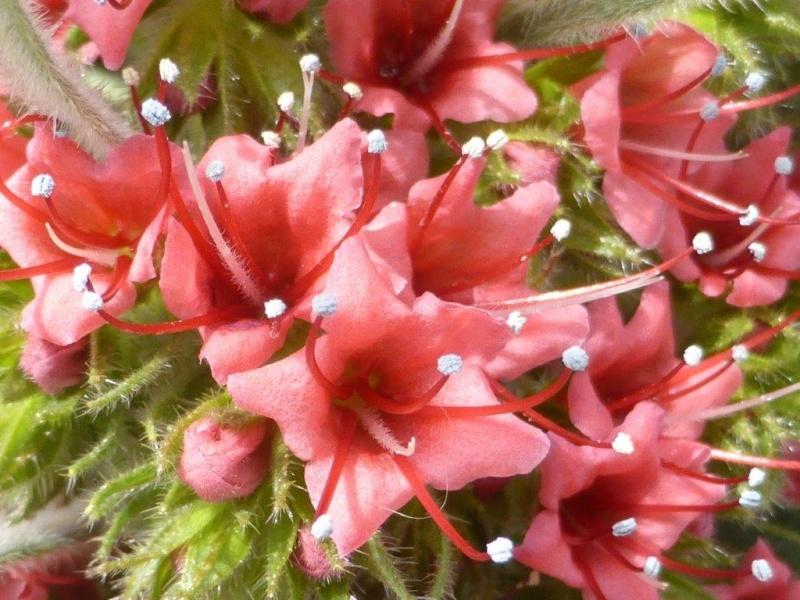 Echium wildpretii - Seite 6 P1140120