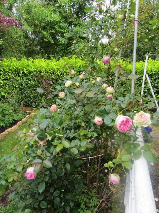 Rosa 'Pierre de Ronsard' !!! - Page 3 00428