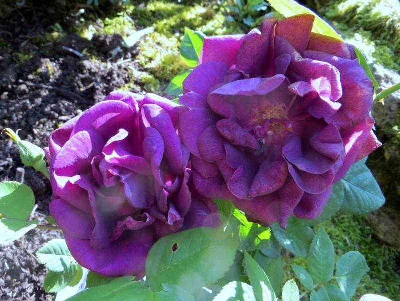 rose du roi à fleurs pourpres 01819
