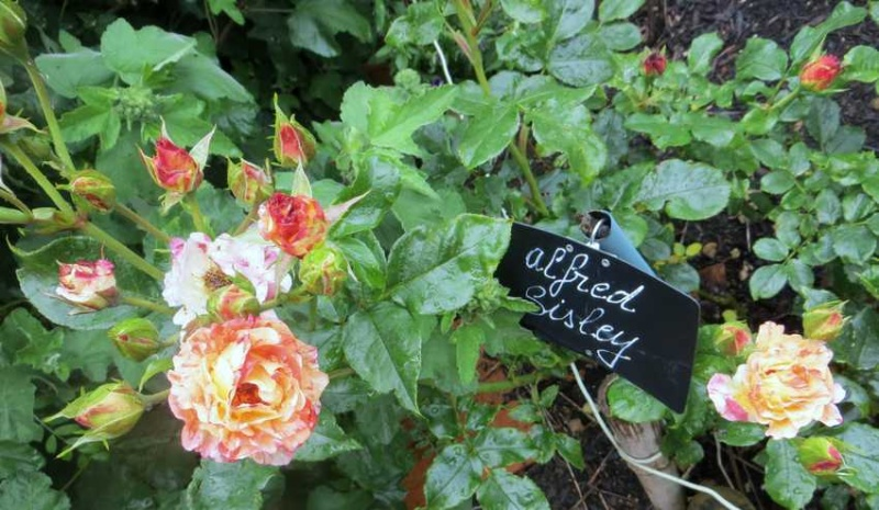 Rosa 'Alfred Sisley' Alfred10