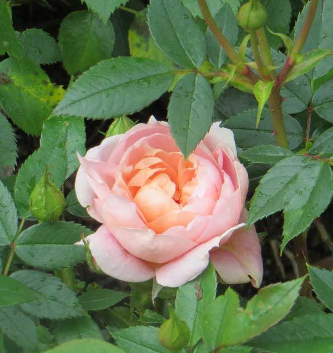 rosier Colette Colett10