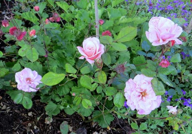 Rosa 'Cornélia' !!! - Page 2 Cornyl11