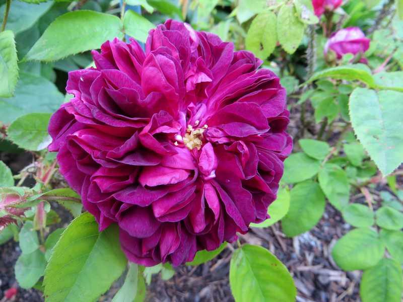 rosier deuil de Paul Fontaine Deuil_10