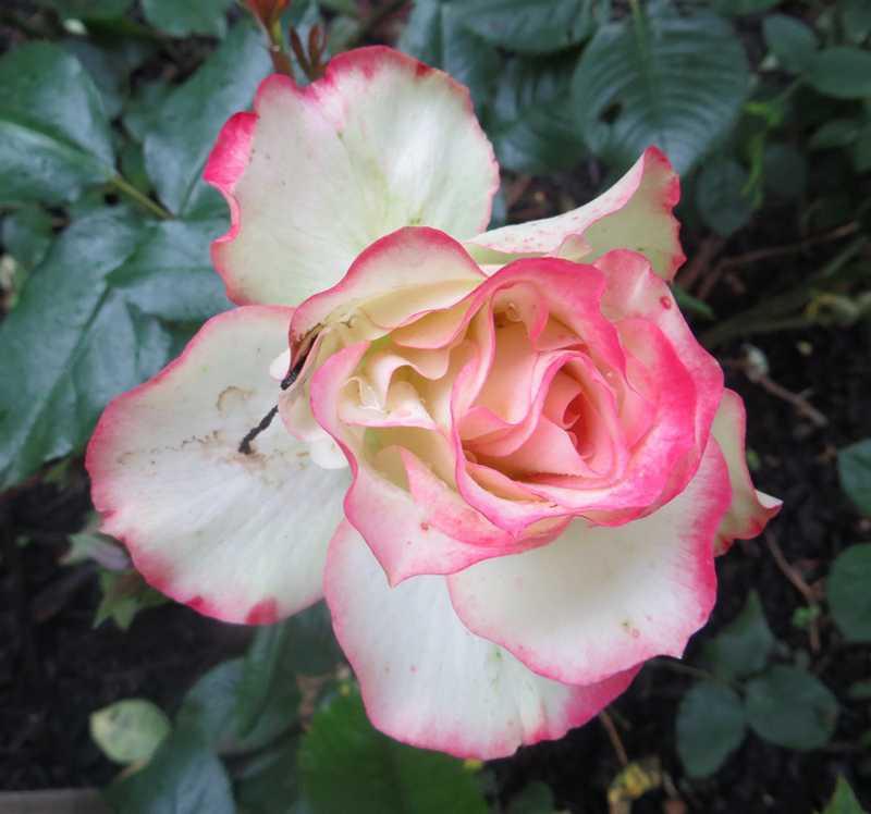 Rosa 'Jubile du Prince de Monaco' Jubily10